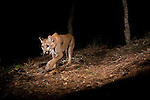 North American Cougar (Puma concolor couguar) sub-adult female walking at night, Aptos, Monterey Bay, California