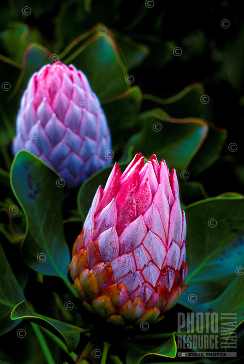 Pink protea from Kula, Island of Maui
