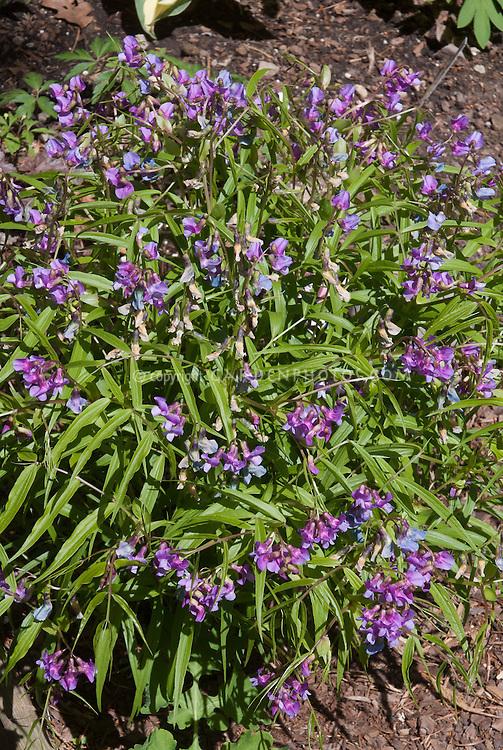 Lathyrus vernus, herald of the spring season, harbinger flower of spring, plant habit, perennial