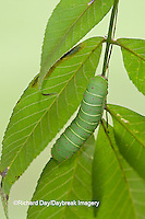 04000-006.02 Luna Moth (Actias luna) caterpillar (larva) on host plant Hickory Tree (Carya Sp.) Marion Co., IL