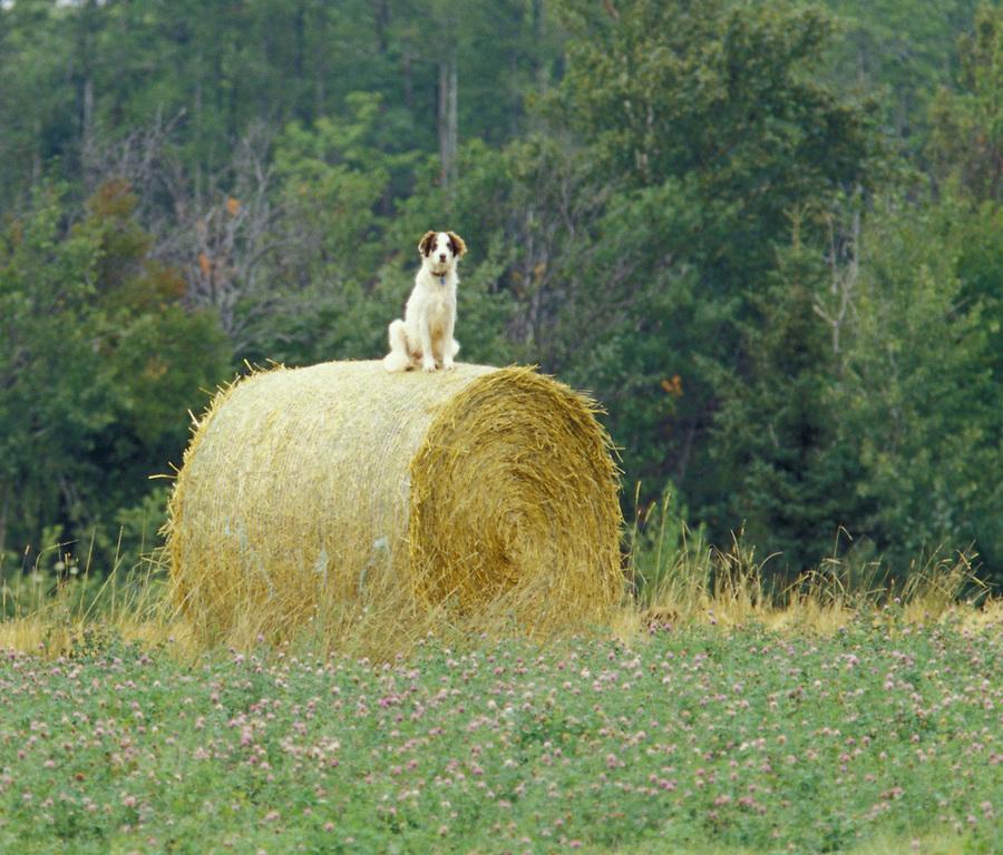 Dog sitting on bail of hay, Indian River, Prince Edward Island, Canada