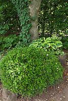 Shade garden plants: Buxus, Schizophragma hydrangeoides climbing hydrangea, hosta, epimedium, American holly Ilex opaca in dry soil