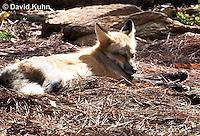 0820-1003  Red Fox, Vulpes vulpes  © David Kuhn/Dwight Kuhn Photography