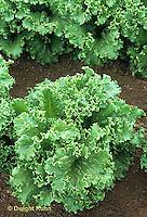 HS21-753x  Lettuce - Ultra Green Lettuce variety