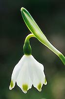 Spring Snowflakes, Leucojum vernum, blooming, Schwyz, Switzerland, Europe