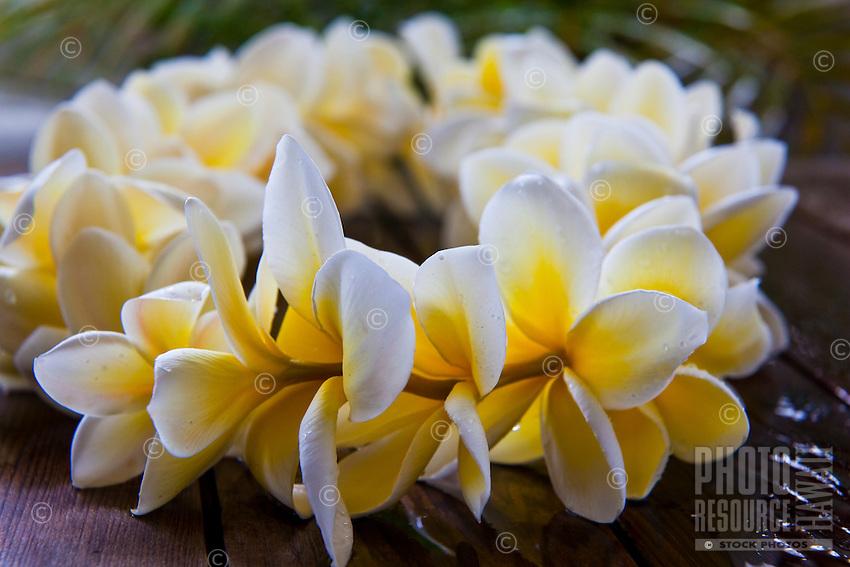 White and yellow plumeria lei