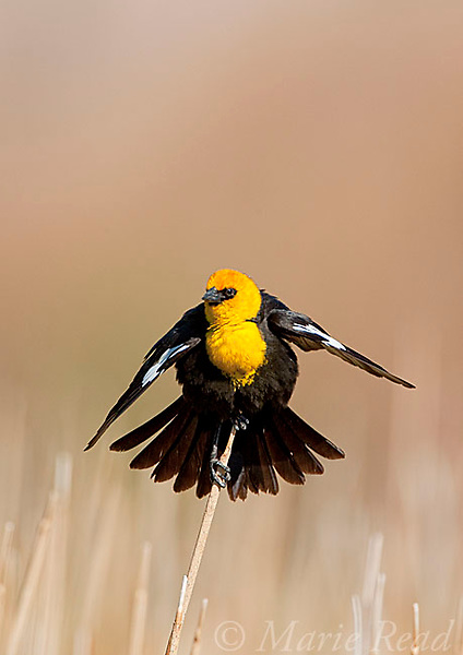 Yellow-headed Blackbird (Xanthocephalus xanthocephalus), male displaying, Mono Lake Basin, California, USA
