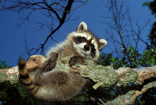 Raccoon, Pyron lotor, hangs precariously from branch in woods at evening time.