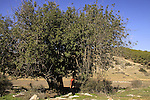 T-124 Carob tree by Gad Hill