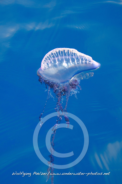 Portuguese Man Of War, Physalia physalis, Azores, Portugal, Atlantic Ocean