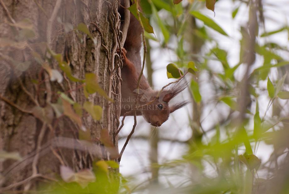 Eekhoorn (Sciurus vulgaris),