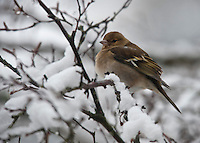 Female Chaffinch in a snow covered tree, Whitewell, Lancashire.