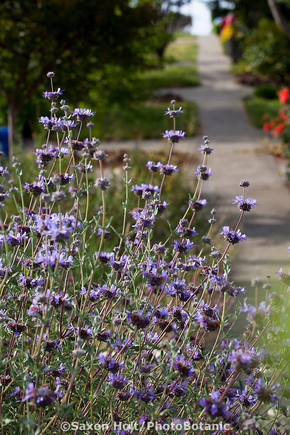 Salvia clevelandii (Cleveland sage) flowering perennial along sidewalk; California native plants, Heath-Delaney garden