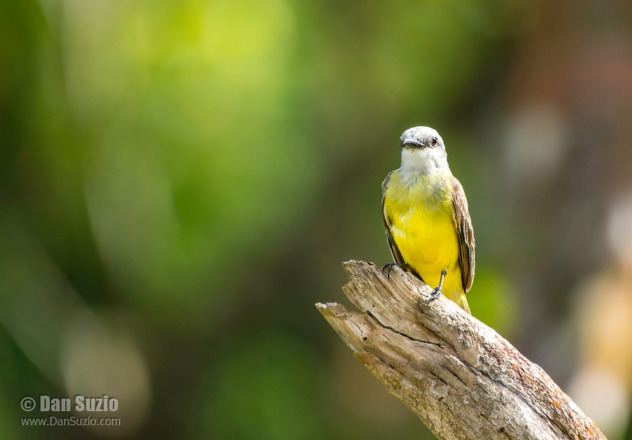 Tropical Kingbird, Tyrannus melancholicus, perched on a dead branch in Tortuguero National Park, Costa Rica