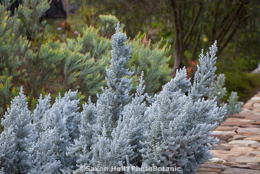 Maireana sedifolia, Pearl Bluebush, silver, gray foliage shrub; Australian Native Plant Nursery, Ventura, California