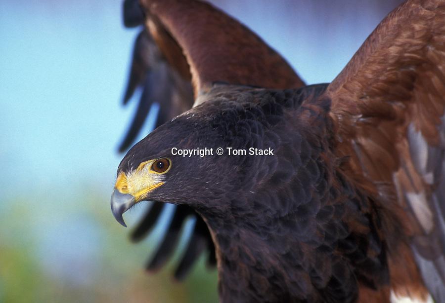 Harris Hawk Tom Stack Associates Inc