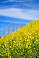 Wild Mustard On A HIll