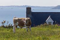 Royaume-Uni, îles Anglo-Normandes, île de Sark (Sercq) : Hôtel-Restaurant: La Sablonnerie    sur Little Sark aprés la Coupée et vache Race Guernesey // United Kingdom, Channel Islands, Sark Island (Sercq): Hotel-Restaurant: La Sablonnerie -