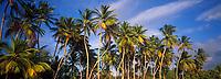 France/DOM/Martinique: Cocotiers sur la plage des Salines
