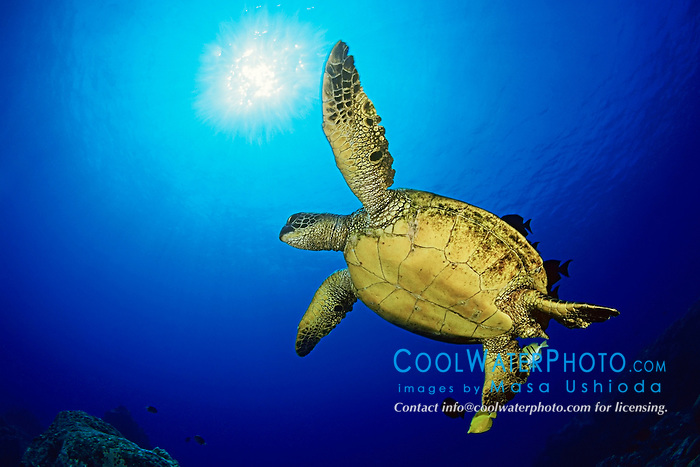 green sea turtle at cleaning station, Chelonia mydas, Kona, Big Island, Hawaii, USA, Pacific Ocean