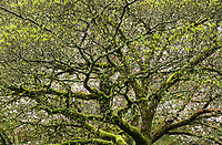 Korean Dogwood, Washington