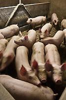Europe/France/Midi-Pyrénées/12/Aveyron/Aubrac/La Terrisse: Anne Magne, élèveuse de  porcs, pour Lucien Conquet Boucher Charcutier à Laguiole.<br /> Elle prépare elle-même leur soupe, à base de céréales, elle les nourrit elle-même, matin et soir, quand elle pénètre dans leur étable, elle leur parle, les apaise: Sans stress, leur viande se tient, perd moins d'eau.