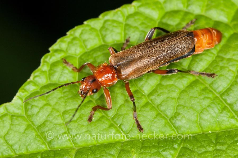 Variabler Weichkäfer, Variation mit hellen Flügeldecken, helle Form, Cantharis livida, variable cantharid, variable soldier beetle, Cantharidae
