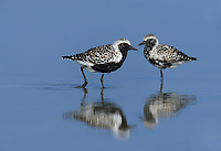 Black-bellied Plover (Pluvialis squatarola), adult walking, South Padre Island, Texas, USA