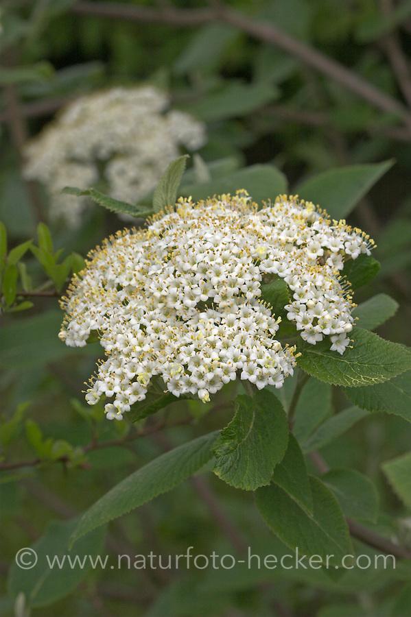 Wolliger Schneeball, Schnee-Ball, Viburnum lantana, Wayfaring Tree, Mansienne, Viorne lantane