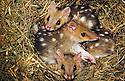 Baby Eastern Quolls (Dasyurus viverrinus) in nest. Southeastern Australia