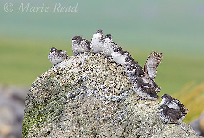 Least Auklets (Aethia pusilla) group of eleven perched on rock, Antone Beach, St. Paul Island, Pribilofs, Alaska, USA