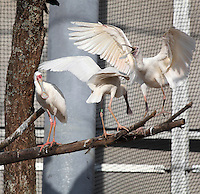 African spoonbills (Platalea alba) in the new Grande Voliere or aviary of the new Parc Zoologique de Paris or Zoo de Vincennes, (Zoological Gardens of Paris or Vincennes Zoo), which reopened April 2014, part of the Musee National d'Histoire Naturelle (National Museum of Natural History), 12th arrondissement, Paris, France. Picture by Manuel Cohen