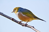 Silvereye's (Zosterops lateralis) also known as Wax eye's or White eyes are a small passerine that is native to New Zealand and Australia and can be found in most settled habitat. They feed on insects, nectar, fruit and berries and are more noticeable in flocks during the winter months. They are easily attracted to feeding stations where sugar water and fruit are available and can be quite aggressive towards each other with displays of wing fluttering and beak clattering. Their origin in New Zealand isn't clear as they were only first observed here in 1832 and could have been swept eastward from Australia by storm or possibily followed a ship across the Tasman Sea. Their Maori name Tauhou (Little Stranger) reflects their recent arrival.