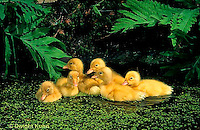 DG10-055x  Pekin Duck - four day old ducklings swimming