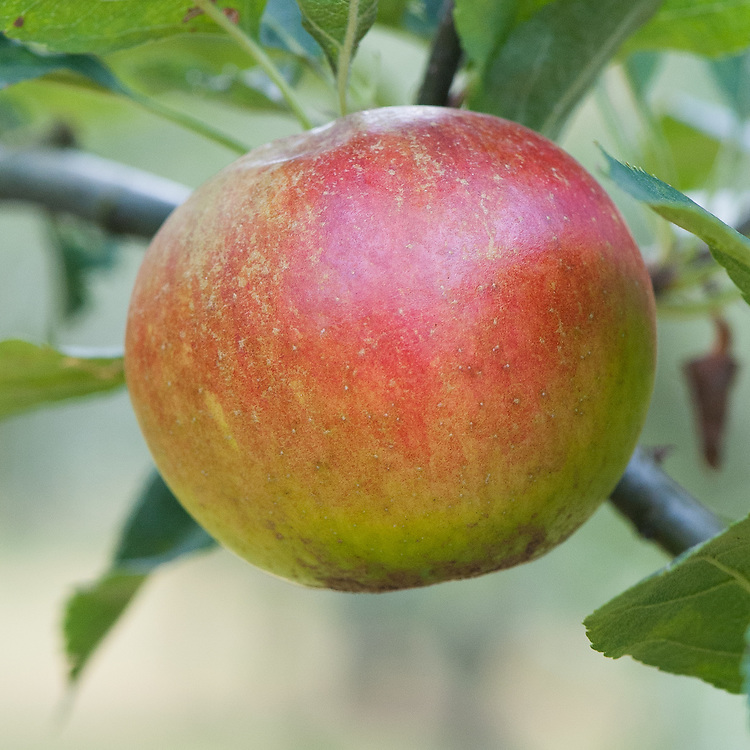 Apple 'Barnack Beauty', late September. An English dual-purpose culinary-dessert apple raised in about 1840 at Barnack, Lincolnshire.