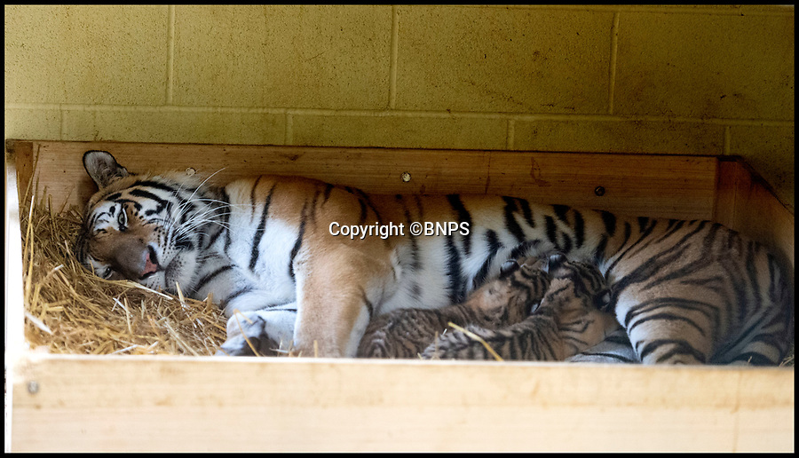 BNPS.co.uk (01202 558833)<br /> Pic:   RogerArbon/BNPS<br /> <br /> These are the first images of tiny tiger cubs whose birth at a British safari park is bringing fresh hope to an endangered species. <br /> <br /> The cute cubs are Amur or Siberian tigers, of which there are just 540 individuals left in the wild.<br /> <br /> The tiger births are the first at Longleat Safari Park in Wiltshire for nearly 20 years and are part of a European-wide breeding programme for the sub-species.