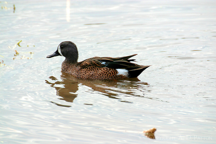 Blue-winged teal adult male swimming at Birding Center pond. These teal arrive early in the fall and stay late.