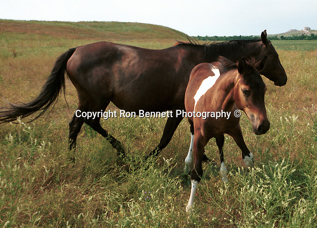 horse and colt, Horse, ponies, mares, stallion, saddle, Equus ferus caballus, domestic horse, yearling, colt, filly, gelding, pony, thoroughbred, Animal, wild animals, domestic animals,  Fine Art Photography, Ron Bennett Photography ©, Fine Art Photography by Ron Bennett, Fine Art, Fine Art photography, Art Photography, Copyright RonBennettPhotography.com ©