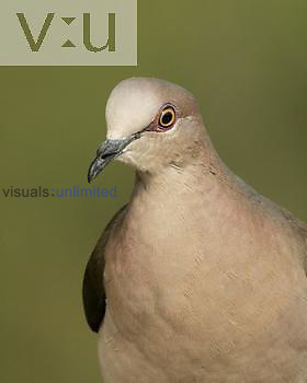 White-tipped Dove head ,Lepotila verreauxi,, Texas, USA.
