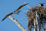 Osprey, at nest, Lover's Key State Park, Florida