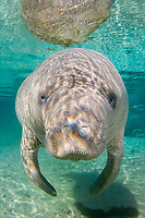 Florida Manatee, Trichechus manatus latirostris, A subspecies of the West Indian Manatee. Crystal River, Florida.