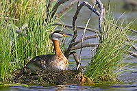 Red-necked Grebe sitting on a nest