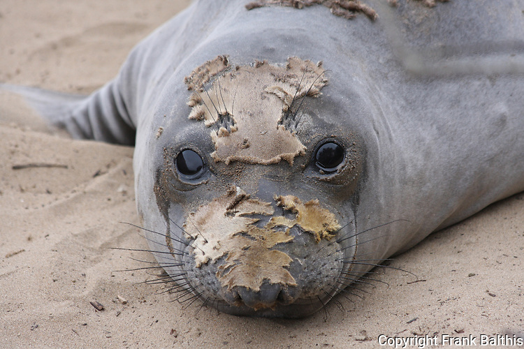 elephant seal molting