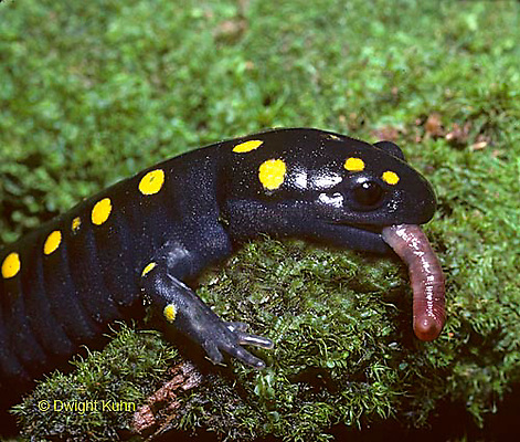 SL01-154x  Spotted Salamander with worm prey - Maine forest floor - Ambystoma maculatum