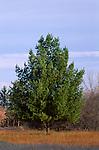 3089-DD Eastern White Pine, Pinus strobus, in field near Anoka, Minnesota