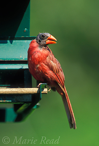Northern Cardinal (Cardinalis cardinalis) bald male at bird feeder, New York, USA