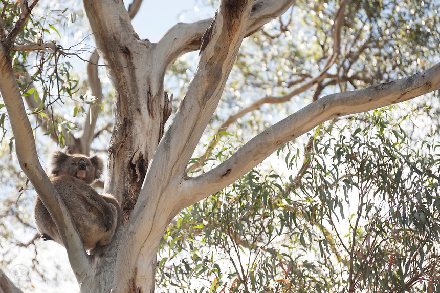 A koala with her joey (feet wrapped around its mother)  rests in a eucalypt in Belair National Park, near Adelaide, South Australia.