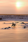 Photo: 20093..Canadas polar bear country around Churchill, Manitoba, at Gordon Point and nearby at Cape Churchill in Wapusk National Park on the south edge of Hudson Bay.  Photos of polar bears males, females, and cubs.  Fauna includes polar bears, arctic hares, and arctic foxes.  Landscapes of the tundra terrain and ice forming on Hudson Bay, plus sunrises and sunsets.  Polar bear viewing in Tundra Buggies while staying at the Tundra Buggy Lodge, operated by Frontiers North.  Photo copyright Lee Foster, 510-549-2202, lee@fostertravel.com, www.fostertravel.com.