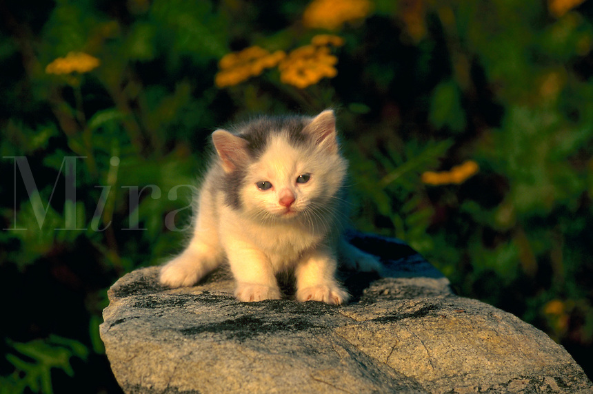 Portrait of an American short hair kitten sitting on a rock.