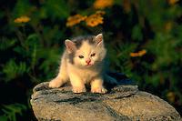 Portrait of an American short hair kitten sitting on a rock.